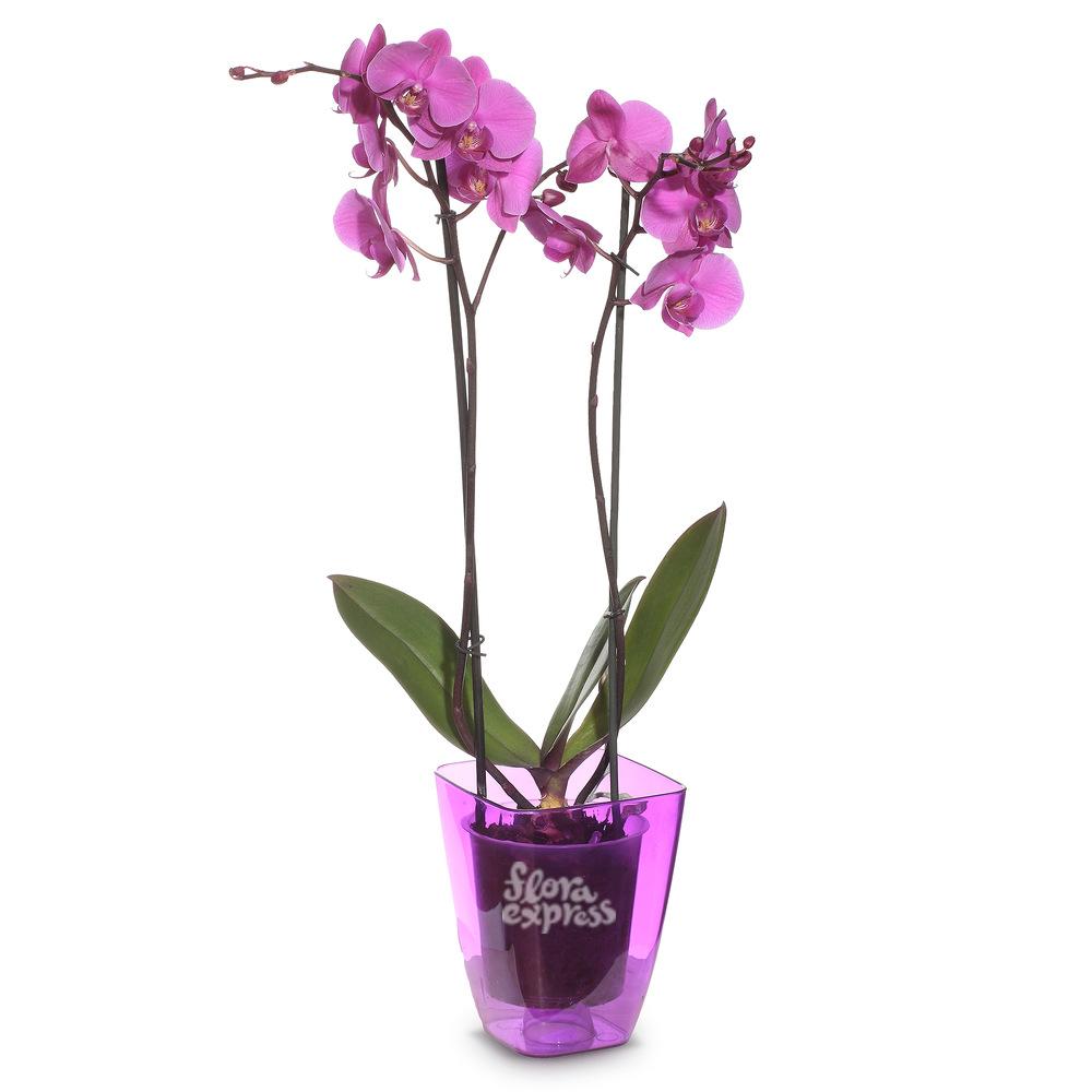 Букет «Flora Express», Орхидея «Нежность»